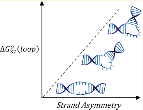 Differential Effects of Strand Asymmetry on